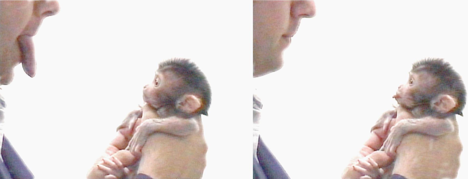 Neonatal (newborn) macaque imitating facial expressions